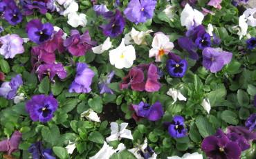 Bilden föreställer penser blommor i olika färger