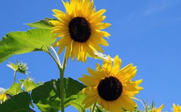 Bilden visar solrosor mot blå himmel.