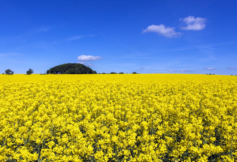 Fotografi av ett rapsfält och blå himmel