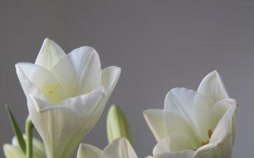 Tre stycken vita liljor.