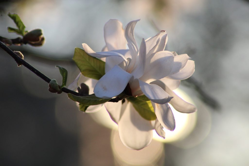 Bilden visar en Magnolia