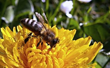 Bilden visar ett bi på en maskros