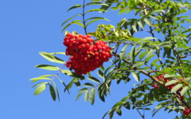 Rönnbärsträd